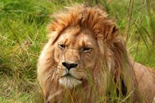 Free Resting Lion In Bush Stock Image - 8540921