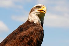 Free Bald Eagle Portrait Royalty Free Stock Photos - 8540938
