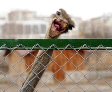 Free Crazy Ostrich Stock Images - 8541294