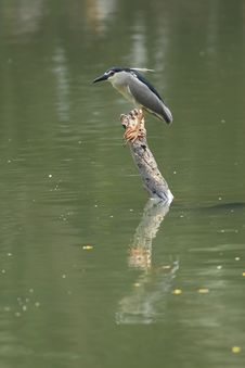 Free Black-crowned Night Heron Stock Photos - 8542053
