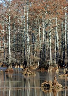 Free Cypress Swamp Stock Photography - 8542552