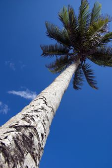 Free Palm Tree Reaches For Blue Sky Stock Photos - 8542643