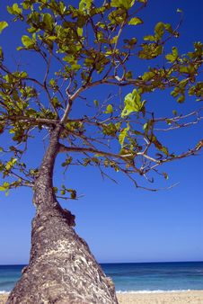 Free Tropical Tree Reaches For Blue Sky Royalty Free Stock Photos - 8542678