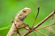 Free Chameleon Royalty Free Stock Image - 8543586