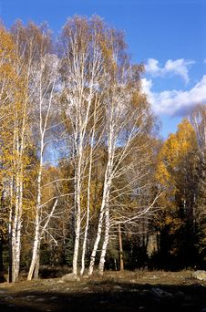 Free China/Xinjiang: Birches And Blue Sky Stock Photography - 8544272