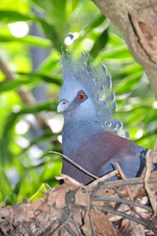 Free Victoria Crowned Pigeon Stock Photo - 8545180