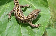 Free Lizard Royalty Free Stock Photography - 8545627