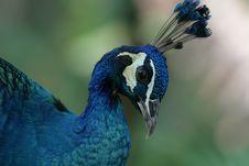 Free Peacock Royalty Free Stock Photos - 8545938