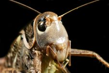 Free Grasshopper Royalty Free Stock Images - 8545939