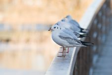 Free Seagulls Lined Up Royalty Free Stock Photography - 8546547