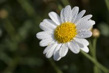Free Daisy With Drops Royalty Free Stock Photography - 8548297