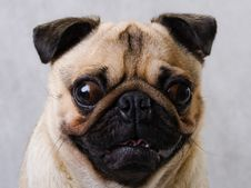 Pug Head Royalty Free Stock Images
