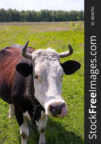 Amusing cow