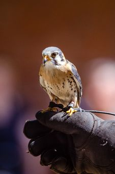 Free American Kestrel Royalty Free Stock Photography - 85404457