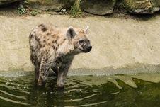 Free Gevelkte Hyena P1750347 Royalty Free Stock Photo - 85404885