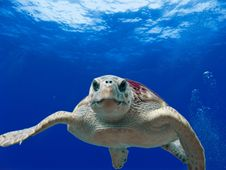 Free Gray And Green Turtle Swimming On Water Royalty Free Stock Photos - 85405108