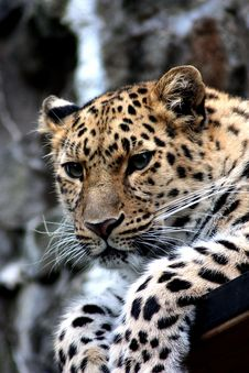 Free Focus Photography Of Black And Brown Leopard Sitting Stock Image - 85405151