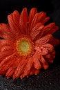 Free Red Gerbera Stock Image - 8551831