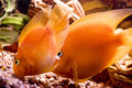 Free Beautiful Parrotfish In Aquarium Royalty Free Stock Photos - 8553588