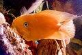 Free Beautiful Parrotfish In Aquarium Royalty Free Stock Photos - 8553608
