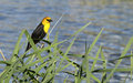 Free Yellow-headed Blackbird Stock Photos - 8554213
