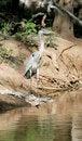 Free Grey Heron Stock Images - 8555424