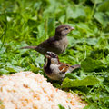 Free Hungry Sparrows Royalty Free Stock Photo - 8555805