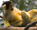 Free Common Squirrel Monkey 8 Stock Images - 8558214