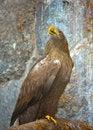 Free Eagle Stock Photo - 8559250