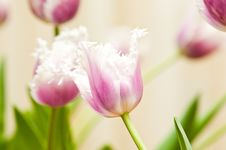 Free Tulips Stock Images - 8550204