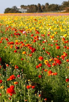 Free Flower Field Royalty Free Stock Images - 8550539