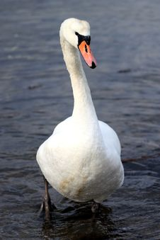 Free Swan Stock Images - 8550964