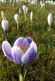 Free Field Of Crocus Stock Photos - 8551693