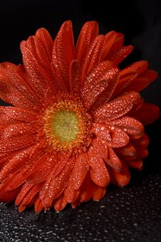 Free Red Gerbera Stock Image - 8551831