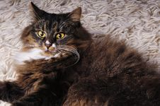 Free Hairy Cat Royalty Free Stock Images - 8552499