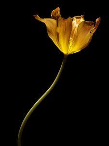Free Tulip Stock Photography - 8552682