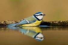 Free Blue Tit Having Bath Stock Images - 8552834