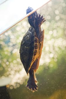 Free Red Ear Turtle In Aquarium Stock Photos - 8553673