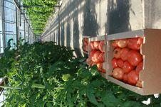 Free Tomatoes Stock Photos - 8554153