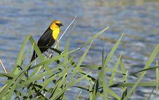 Free Yellow-headed Blackbird Stock Photos - 8554213