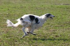 Free Running Borzoi Royalty Free Stock Photo - 8555335