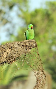 Free Green Parrot Royalty Free Stock Photography - 8555437