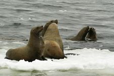 Free Northern Sea-lion (Eumetopias Jubatus) Stock Photography - 8555742