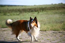 Free Collie Dog Royalty Free Stock Photography - 8555827