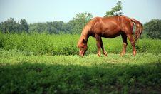 Free Brown Horse Royalty Free Stock Photo - 8555835
