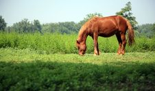 Free Brown Horse Royalty Free Stock Images - 8555839
