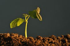 Free Plant Seedling Royalty Free Stock Image - 8556686