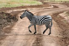 Free Zebra On Road Stock Photo - 8557920