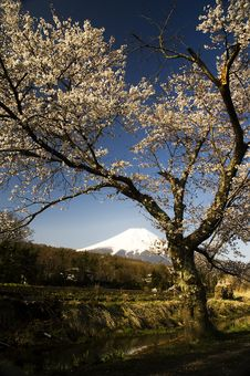 Free Sakura & Mt Fuji Stock Photos - 8557993