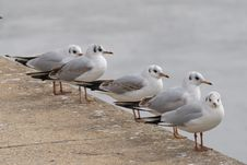 Free Seagulls Lined Up Royalty Free Stock Photos - 8557998